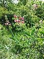 Lathyrus latifolius sl14.jpg