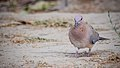 Laughing dove at IIT Delhi.jpg