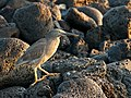 Lava Heron between Rocks.jpg