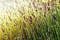 Lavendel (160683333).jpeg