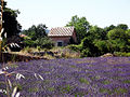 Lavender and house (16527877353).jpg
