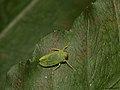 Leaf-hopper (6282424855).jpg