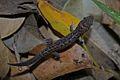 Leaf-toed Gecko (Dixonius siamensis).jpg