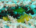 Lemon Coral Goby.jpg
