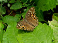 Lemon Pansy (Junonia lemonias) at Madhurawada 01.JPG