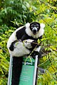 Lemur (26773340749).jpg