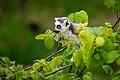 Lemur (36445865852).jpg