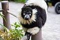 Lemur (41113304064).jpg