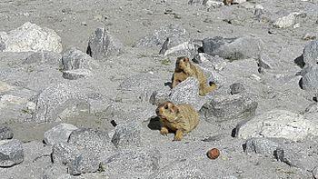 Lemur in Leh ladakh 12.jpg