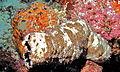 Leopard Sea Cucumber (Pearsonothuria graeffei) (8481746721).jpg