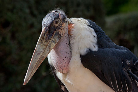 Marabou Stork (Leptoptilos crumeniferus) during a show of birds of prey at the Zoo of Madrid, Spain.