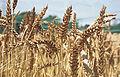Les Plantes Cultivades. Cereals. Imatge 316.jpg