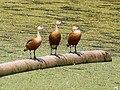 Lesser Whistling-ducks- Resting- I3- Kolkata IMG 1534.jpg