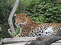 Levhart jávský v Zoo Praha 003.jpg