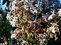 Leylak=Syringa vulgaris - panoramio.jpg