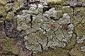 Lichen (42821514012).jpg