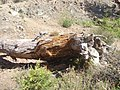 Lightening Struck Tree in Troodos by Georgy - panoramio.jpg