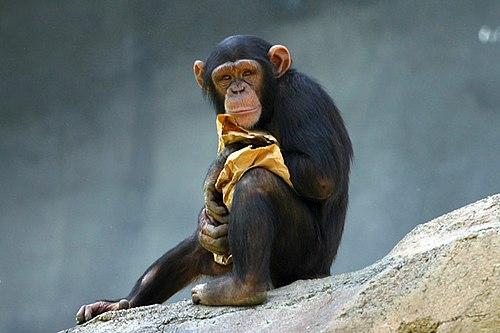 http://upload.wikimedia.org/wikipedia/commons/thumb/f/fb/Lightmatter_chimp.jpg/500px-Lightmatter_chimp.jpg