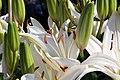 Lilium asiatic Reinesse 1zz.jpg