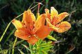Lilium bulbiferum fiore.jpg