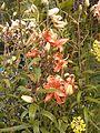Lillium lancifolium.jpg
