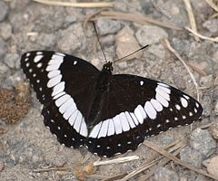 240px limenitis weidemeyerii dorsal