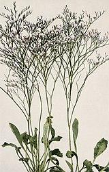 Limonium carolinianum WFNY-166B.jpg