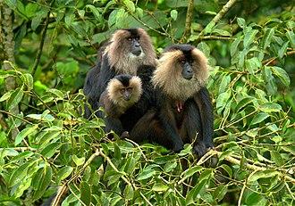 New Amarambalam Reserved Forest - Macaca silenus