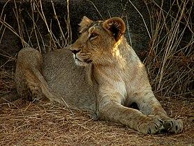 Lion Gir.jpg