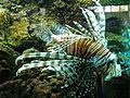 Lionfish close.JPG