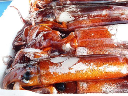 Tintenfisch Kalmar