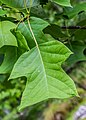 Liriodendron chinense in Hackfalls Arboretum (3).jpg