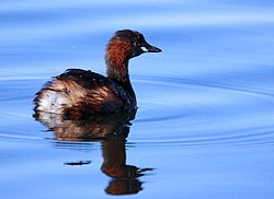 Little Grebe (or Dabchick), Tachbaptus ruficollis at Rietvlei Nature Reserve, Gauteng, South Africa (8054729287).jpg