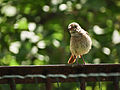 Little bird with red tail (14411861110).jpg