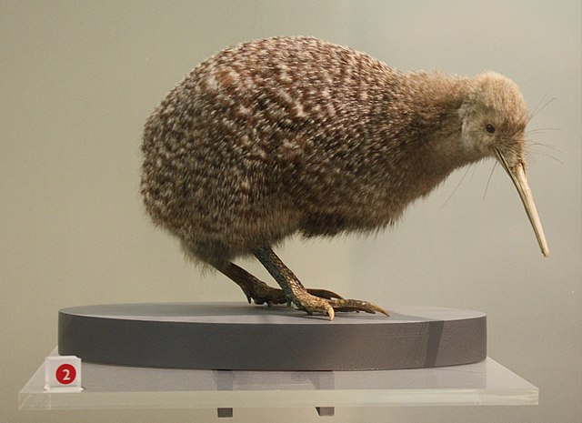 Little spotted kiwi at Auckland War Memorial Museum by Goudron92, 2010. CC-BY-SA-3.0