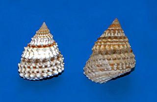 <i>Tectarius</i> Genus of gastropods