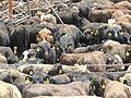 Live export - cows from australia in Zofar quarantine in Israel.jpg