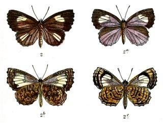 <i>Logania watsoniana</i> species of insect