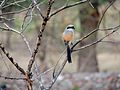 Long-tailed Shrike, Jim Corbett NP, Uttarakhand.jpg
