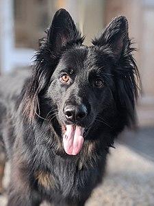 Betere Duitse herder - German Shepherd - qwe.wiki FC-59