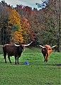 Longhorn in Huron County, Ontario - panoramio.jpg