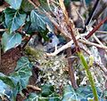 Longtailed Tit (Aegithalos caudatus) building her nest in a hedgerow. - Flickr - gailhampshire.jpg