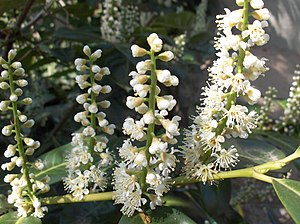 Prunus laurocerasus - Flowers - Prunus laurocerasus