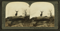 Lordly Monarch of the Western Wilds. Snap shot of Wild Elk, by Keystone View Company.png