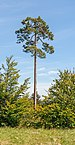 Lothar Path - Black Forest National Park - Pinus sylvestris 01.jpg
