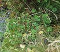 Lotus pedunculatus13 ies.jpg