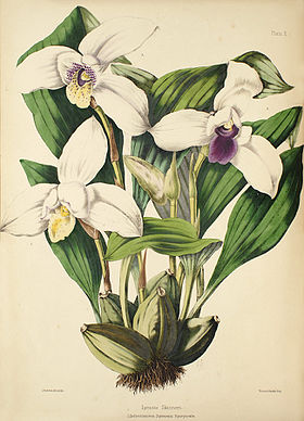 Lycaste skinneri - Warner, Williams - Select orch. plants 1, pl. 10 (1862-1865).jpg