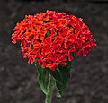 Lychnis chalcedonica flowers (DSCF6467).jpg