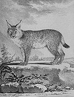 Illustration d'un Lynx de l'Histoire naturelle générale et particulière avec la description du cabinet du roy.
