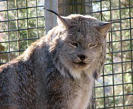 Rys kanadský (Lynx)